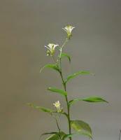 山野草盆栽 ホトトギス 秋月
