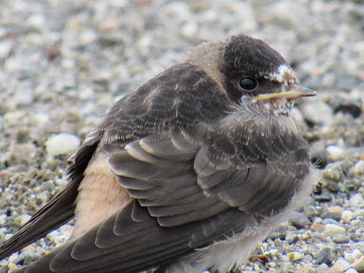 Juvenile Cliff Swallow