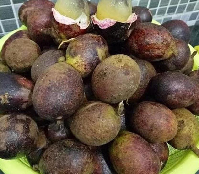 Ind4H Bibit Pohon Matoa Buah Matoa Tanaman Island Lychee Mirip Leci Pontianak