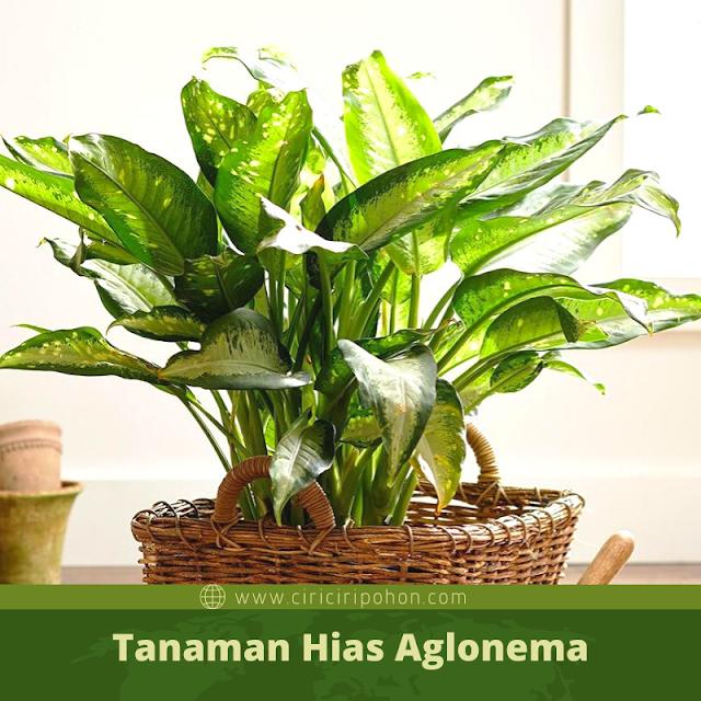 Ciri Ciri Pohon Tanaman Aglonema