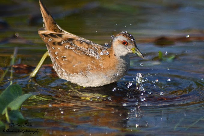 Baillon's crake at  Nalsarovar Gujarat