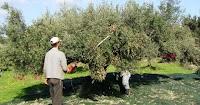 Μάζεμα ελιών: Η πανέξυπνη πατέντα του αγρότη από τα Κύθηρα που κάνει το μάζεμα της ελιάς παιχνιδάκι
