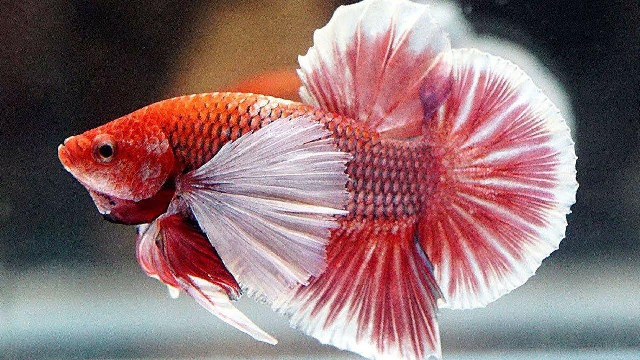 10 Ikan Cupang Hias Yang Sedang Hits Mahal 2019 Aquaama