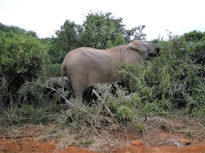 Addo Elephant National Park, Addo, Elephants, South Africa, safari