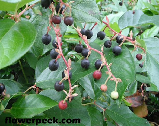 How to grow and care for Salal plant