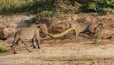Induk dan anak macan tutul berebut ular besar