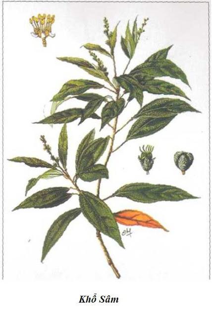 CÂY KHỔ SÂM CHO LÁ - Croton tonkinensis - Nguyên liệu làm Thuốc Bổ, Thuốc Bồi Dưỡng