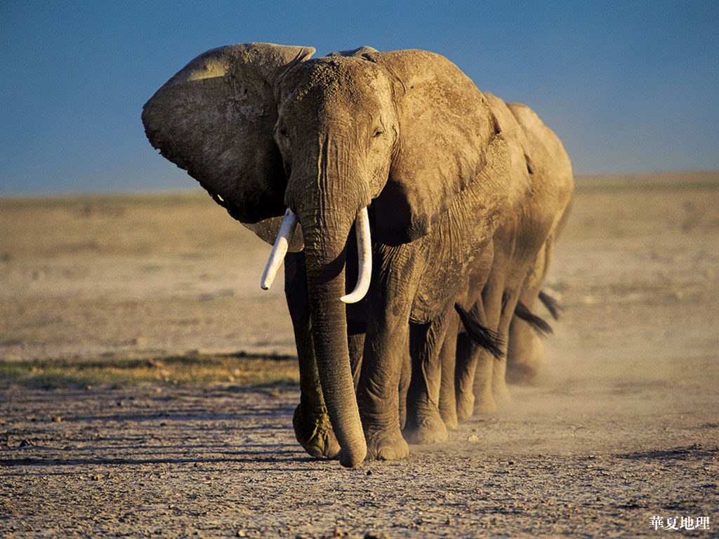 Elephants Wallpapers | Animals Library