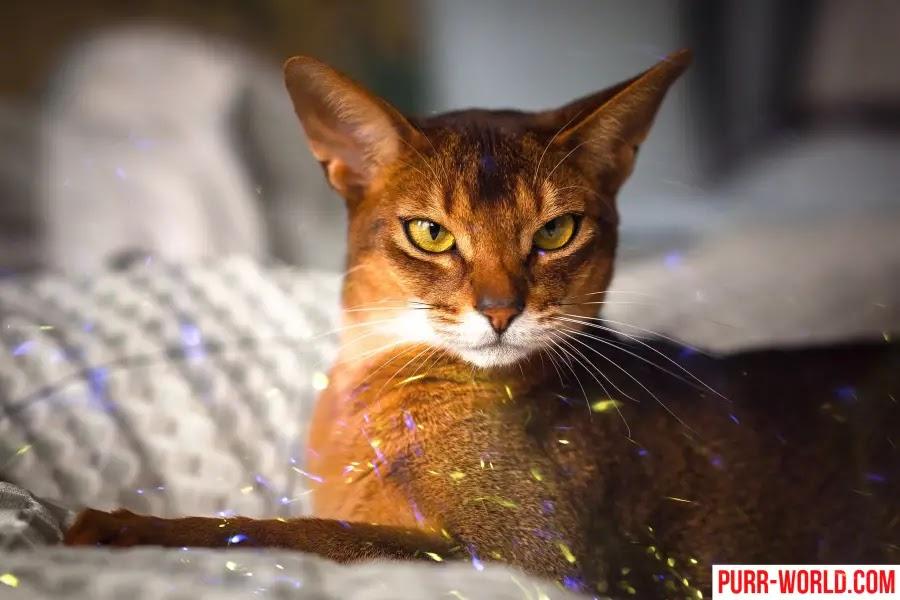 القط الحبشي