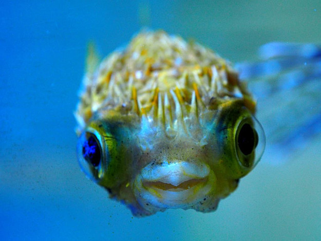 Baby Animals: Baby pufferfish