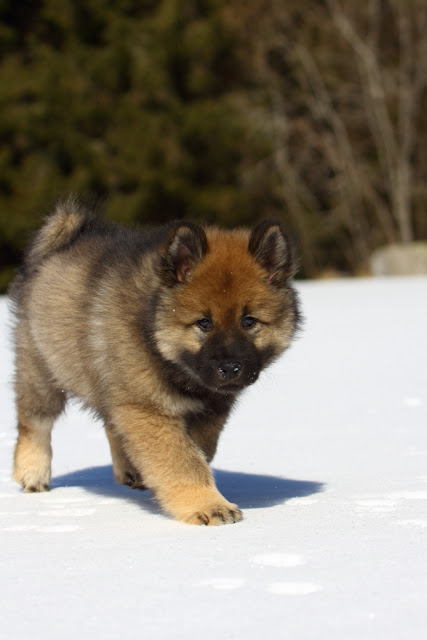 The Eurasier is widely known as a wonderful companion
