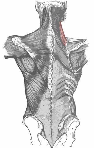 Músculo elevador de la escápula remarcada de color rojo