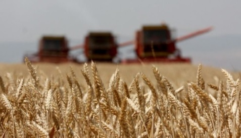 Albanian domestic wheat cultivation is reduced significantly