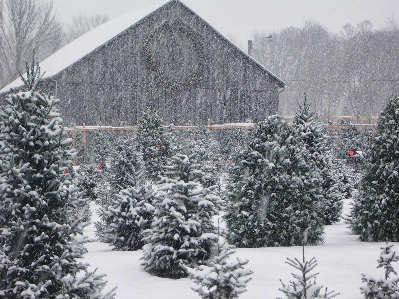 Tower Family Christmas Tree Farm: It's Beginning To Look