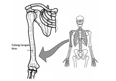 gambar tulang lengan atas