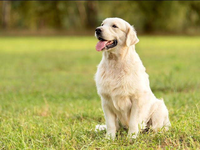 These are the 10 most popular dog breeds in the US