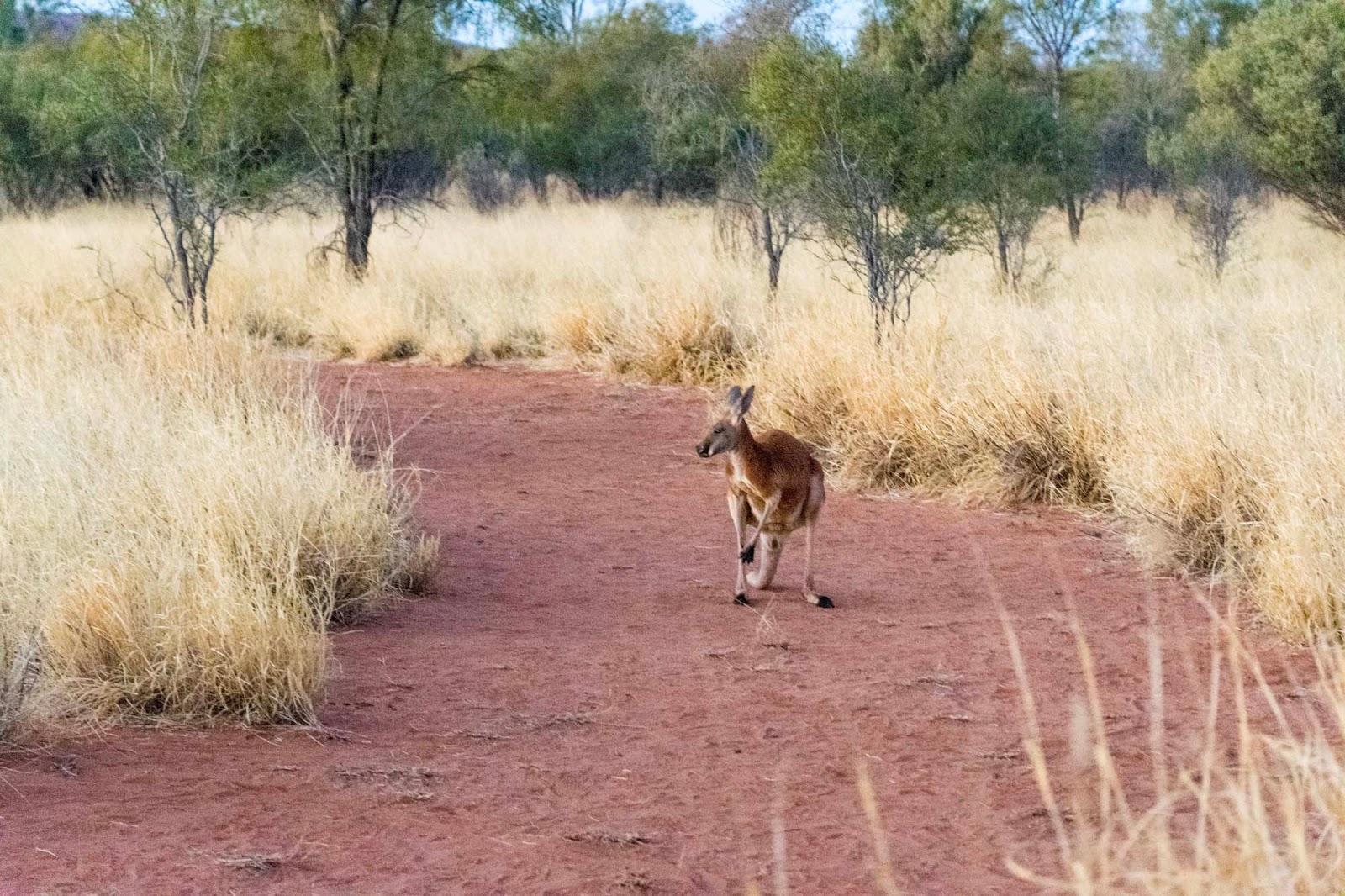 Unmissable Alice Springs The Kangaroo Sanctuary