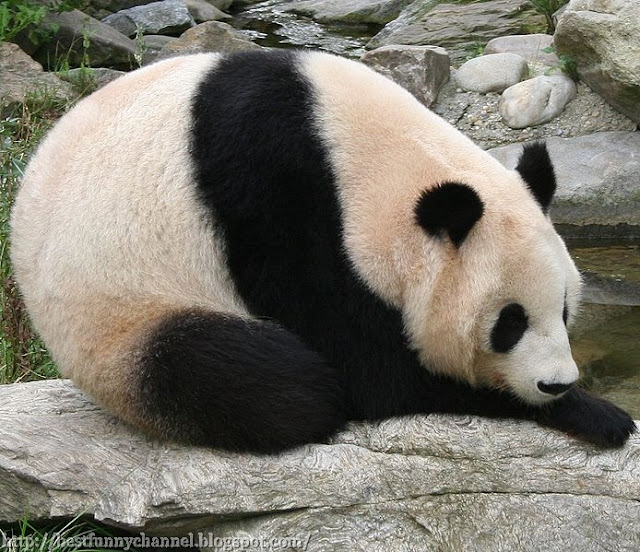 Panda while relaxing