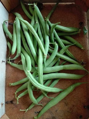 Coltivare i legumi in un orto biologico: i fagiolini
