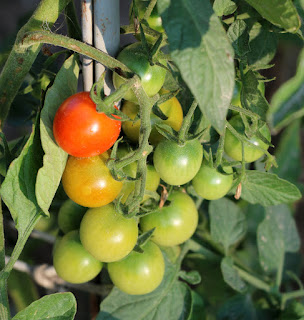Cherry Tomatoes starting to ripen