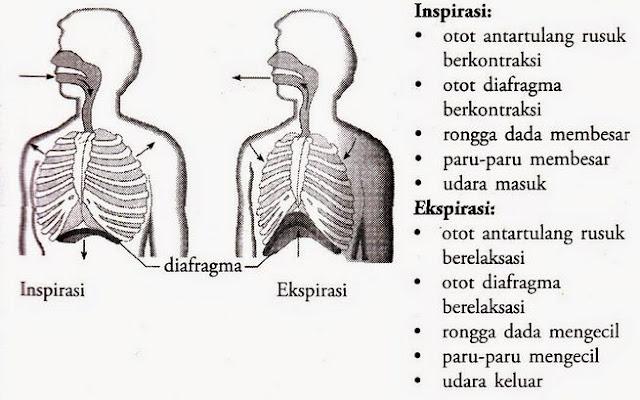 Mekanisme dan Proses Pernapasan Pada Manusia