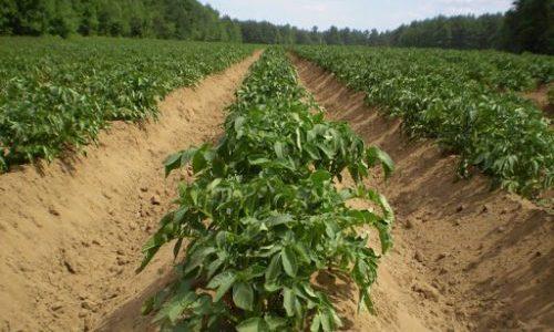 20% με 25% προς τη συνολική μείωση της παραγωγής από τον παγετό στην καλλιέργεια της πατάτας