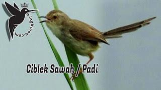 Ciblek Sawah
