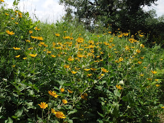 bright yellow, daisy-like wildflowers line the road at Stone Park in Sioux City Iowa