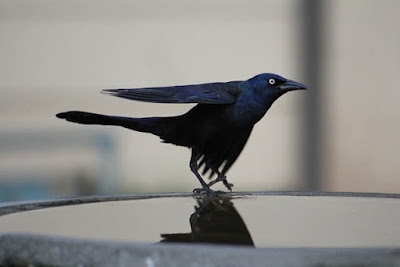 Photo of Common Grackle on bird bath