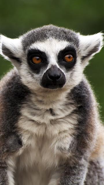 Wallpaper Madagascar, Lemur, Animal, Catering + Download ...