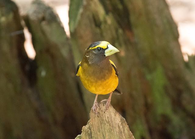 Evening Grosbeak - Hartwick Pines, Michigan, USA