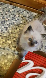 Ragdol kittens for sale