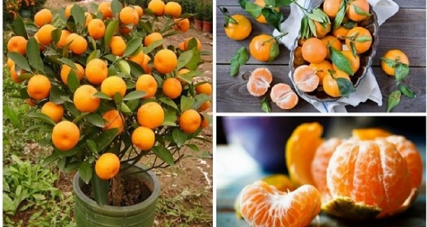 You Will Not Buy Tangerines Again. Plant Them In A Flowerpot And You Will Always Have Hundreds Of Them!