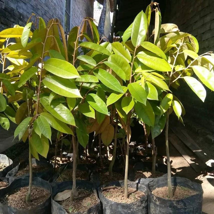 Bibit Tanaman Durian Merah unggulan bisa cod Bukittinggi