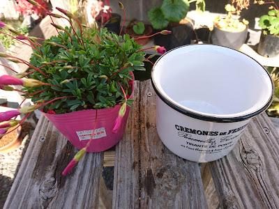 オキザリス 鉢植え