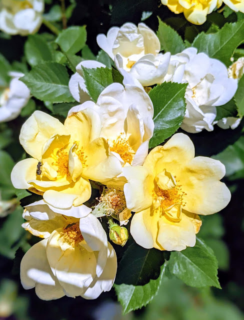 Sunny Knockout roses