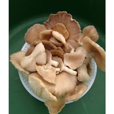 Mushroom suppliers company in Amritsar