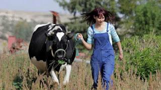فتاة تقوم بتربية الأبقار .. صور