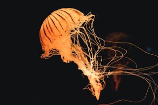 About Jellyfish. जेलीफिश।