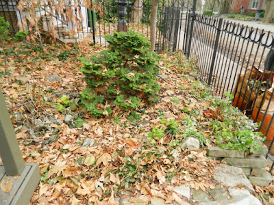 Cabbagetown Front Yard Fall Cleanup Before by Paul Jung--a Toronto Organic Gardener