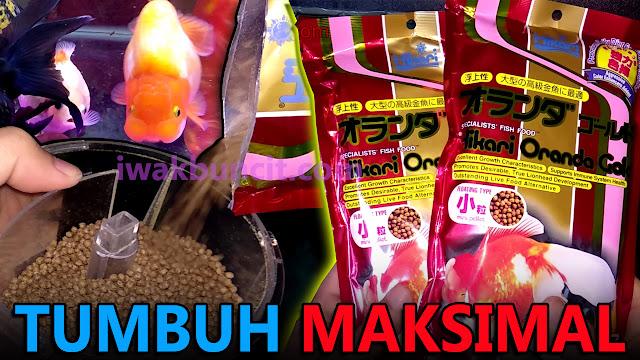 Review 2 Bulan Menggunakan Saki Hikari Oranda Gold Premium: Ikan Mas Koki Tumbuh Maksimal