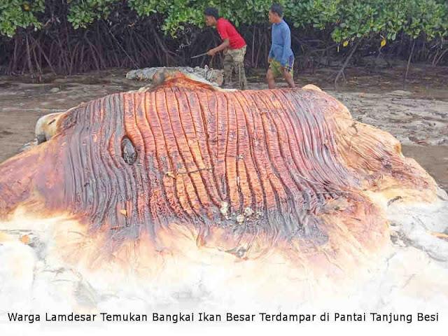 Warga Lamdesar Temukan Bangkai Ikan Besar Terdampar di Pantai Tanjung Besi