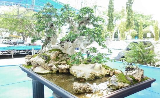 Pohon yang satu ini memiliki nama ilmiah Streblus Asper yang sering kita sebut sebagai tan Indahnya Bonsai Serut Terbaik Bernilai Mahal