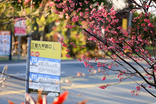 后里中科崴立機電櫻花公園河津櫻、綠萼櫻和八重櫻三色櫻花齊開