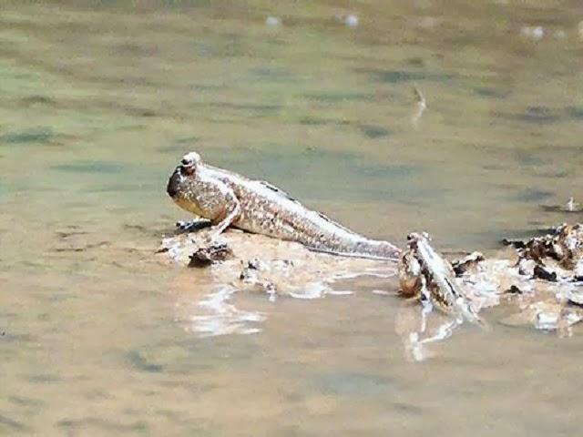 Mud Skipper - Phang Nga Bay Fauna