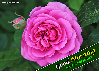 good morning pink rose flowers greetings