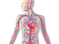 Sistem Peredaran Darah Manusia, Biologi Kelas 11 IPA SMA-MA