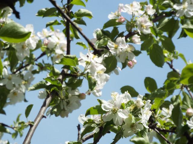white blooms on crabapple tree