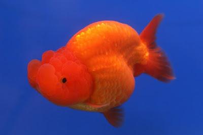 Contoh gambar ikan mas koki Runchu