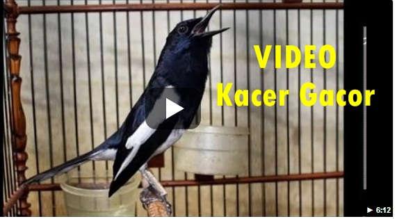 Video Suara Burung Kacer Gacor Ngobra dan Ngeplong